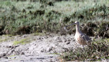 BIRD - CURLEW - LONG-BILLED CURLEW - ELK HORN SLOUGH RESERVE CALIFORNIA.JPG