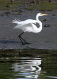 BIRD - EGRET - GREAT EGRET - ELKHORN SLOUGH  WILDLIFE REFUGE CALIFORNIA (10).JPG