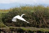 BIRD - EGRET - GREAT EGRET - ELKHORN SLOUGH  WILDLIFE REFUGE CALIFORNIA (12).JPG