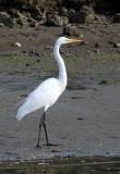 BIRD - EGRET - GREAT EGRET - ELKHORN SLOUGH  WILDLIFE REFUGE CALIFORNIA (3).JPG