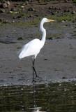 BIRD - EGRET - GREAT EGRET - ELKHORN SLOUGH  WILDLIFE REFUGE CALIFORNIA.JPG