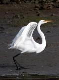 BIRD - EGRET - GREAT EGRET - ELKHORN SLOUGH CALIFORNIA (9).JPG