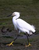 BIRD - EGRET - SNOWY EGRET - ELKHORN SLOUGH CALIFORNIA (10).JPG