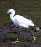 BIRD - EGRET - SNOWY EGRET - ELKHORN SLOUGH CALIFORNIA (11).JPG