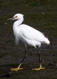 BIRD - EGRET - SNOWY EGRET - ELKHORN SLOUGH CALIFORNIA (13).JPG