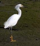 BIRD - EGRET - SNOWY EGRET - ELKHORN SLOUGH CALIFORNIA (5).JPG