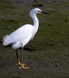BIRD - EGRET - SNOWY EGRET - ELKHORN SLOUGH CALIFORNIA (6).JPG