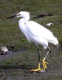 BIRD - EGRET - SNOWY EGRET - ELKHORN SLOUGH CALIFORNIA (9).JPG