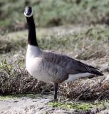 BIRD - GOOSE - CANADA GOOSE - ELK HORN SLOUGH RESERVE CALIFORNIA.JPG