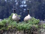 BIRD - GOOSE - CANADA GOOSE - ELKHORN SLOUGH CALIFORNIA (2).JPG