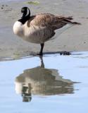 BIRD - GOOSE - CANADA GOOSE - ELKHORN SLOUGH CALIFORNIA (4).JPG