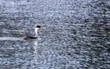 BIRD - GREBE - CLARK'S GREBE - ELKHORN SLOUGH CALIFORNIA (2).JPG