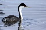 BIRD - GREBE - WESTERN GREBE - ELKHORN SLOUGH CALIFORNIA (15).JPG