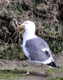 BIRD - GULL - WESTERN GULL - ELKHORN SLOUGH CALIFORNIA (3).JPG