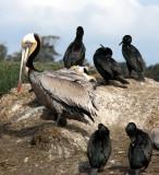 BIRD - PELICAN - BROWN - WITH BRANDT'S CORMORANT - ELKHORN SLOUGH  WILDLIFE REFUGE CALIFORNIA.JPG