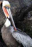 BIRD - PELICAN - BROWN PELICAN - ELKHORN SLOUGH CALIFORNIA (12).JPG