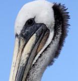 BIRD - PELICAN - BROWN PELICAN - ELKHORN SLOUGH CALIFORNIA (5).JPG