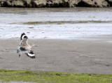 BIRD - WILLET - ELK HORN SLOUGH RESERVE CALIFORNIA.JPG