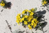 BRASSICACEAE - ERYSIMUM MENZIESII - MENZIE'S WALLFLOWER - MONTEREY CALIFORNIA (3).JPG