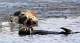 MUSTELID - OTTER - CALIFORNIA SEA OTTER - ELK HORN SLOUGH RESERVE CALIFORNIA (34).JPG