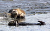 MUSTELID - OTTER - CALIFORNIA SEA OTTER - ELK HORN SLOUGH RESERVE CALIFORNIA (36).JPG