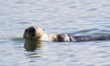 MUSTELID - OTTER - CALIFORNIA SEA OTTER - ELK HORN SLOUGH RESERVE CALIFORNIA (47).JPG