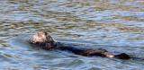 MUSTELID - OTTER - CALIFORNIA SEA OTTER - ELKHORN SLOUGH  WILDLIFE REFUGE CALIFORNIA (22).JPG