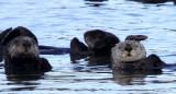 MUSTELID - OTTER - SEA OTTER - ELKHORN SLOUGH  CALIFORNIA (10).JPG