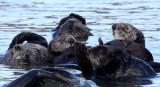 MUSTELID - OTTER - SEA OTTER - ELKHORN SLOUGH  CALIFORNIA (12).JPG