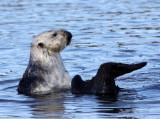MUSTELID - OTTER - SEA OTTER - ELKHORN SLOUGH  CALIFORNIA (24).JPG