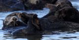 MUSTELID - OTTER - SEA OTTER - ELKHORN SLOUGH  CALIFORNIA (40).JPG
