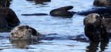 MUSTELID - OTTER - SEA OTTER - ELKHORN SLOUGH  CALIFORNIA (42).JPG