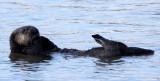 MUSTELID - OTTER - SEA OTTER - ELKHORN SLOUGH  CALIFORNIA (50).JPG