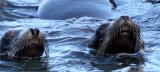 PINNIPED - SEA LION - CALIFORNIA SEA LION - ELKHORN SLOUGH CALIFORNIA (10).JPG