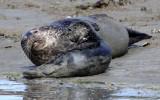 PINNIPED - SEAL - HARBOR SEAL - ELK HORN SLOUGH RESERVE CALIFORNIA (5).JPG