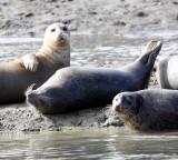 PINNIPED - SEAL - HARBOR SEAL - ELKHORN SLOUGH CALIFORNIA (15).JPG
