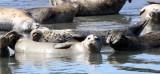 PINNIPED - SEAL - HARBOR SEAL - ELKHORN SLOUGH CALIFORNIA (5).JPG
