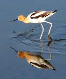 BIRD - AVOCET - AMERICAN AVOCET - SAN JOAQUIN WILDLIFE REFUGE IRVINE CALIFORNIA (10).JPG