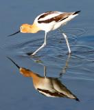 BIRD - AVOCET - AMERICAN AVOCET - SAN JOAQUIN WILDLIFE REFUGE IRVINE CALIFORNIA (11).JPG