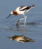 BIRD - AVOCET - AMERICAN AVOCET - SAN JOAQUIN WILDLIFE REFUGE IRVINE CALIFORNIA (12).JPG