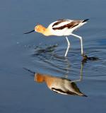 BIRD - AVOCET - AMERICAN AVOCET - SAN JOAQUIN WILDLIFE REFUGE IRVINE CALIFORNIA (13).JPG
