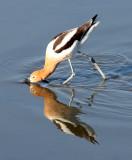 BIRD - AVOCET - AMERICAN AVOCET - SAN JOAQUIN WILDLIFE REFUGE IRVINE CALIFORNIA (14).JPG