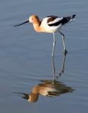 BIRD - AVOCET - AMERICAN AVOCET - SAN JOAQUIN WILDLIFE REFUGE IRVINE CALIFORNIA (19).JPG