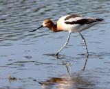 BIRD - AVOCET - AMERICAN AVOCET - SAN JOAQUIN WILDLIFE REFUGE IRVINE CALIFORNIA (23).JPG