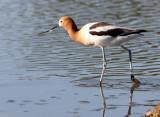 BIRD - AVOCET - AMERICAN AVOCET - SAN JOAQUIN WILDLIFE REFUGE IRVINE CALIFORNIA (26).JPG