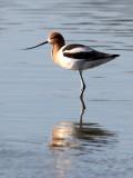BIRD - AVOCET - AMERICAN AVOCET - SAN JOAQUIN WILDLIFE REFUGE IRVINE CALIFORNIA (33).JPG