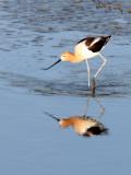 BIRD - AVOCET - AMERICAN AVOCET - SAN JOAQUIN WILDLIFE REFUGE IRVINE CALIFORNIA (42).JPG