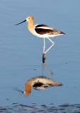 BIRD - AVOCET - AMERICAN AVOCET - SAN JOAQUIN WILDLIFE REFUGE IRVINE CALIFORNIA (45).JPG