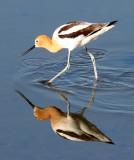 BIRD - AVOCET - AMERICAN AVOCET - SAN JOAQUIN WILDLIFE REFUGE IRVINE CALIFORNIA (8).JPG