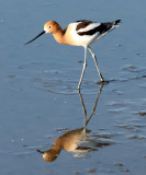 BIRD - AVOCET - AMERICAN AVOCET - SAN JOAQUIN WILDLIFE REFUGE IRVINE CALIFORNIA.JPG